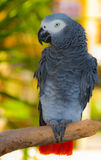 попыгай африканского серого цвета Стоковое фото RF