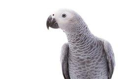 попыгай африканского серого цвета Стоковое Изображение RF