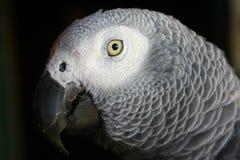 попыгай африканского серого цвета стоковая фотография rf