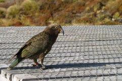 попыгай горы kea стоковое изображение rf