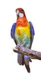 Попыгай золота, голубых и красных изолированный на белизне стоковое изображение