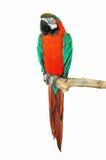 попыгай парка Индонесии ветви птиц bali Стоковая Фотография
