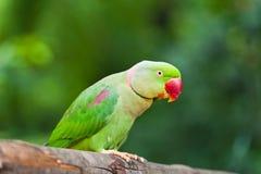попыгай птицы зеленый стоковое изображение rf