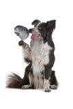 попыгай серого цвета собаки Коллиы граници стоковое изображение rf