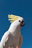 попыгай cockatoo стоковая фотография rf