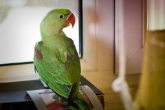 Попыгай eupatria ожерелового попугая Стоковое Изображение