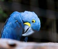 Попыгай Macaw гиацинта стоковое изображение rf