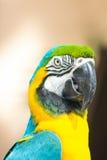 Попыгай Macaw крупного плана Стоковое Изображение RF