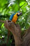 Попыгай Macaw напольный на ветви вала стоковое фото rf