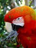 попыгай macaw чистки клюва стоковые изображения