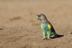 Попыгай Meyers, (meyeri Poicephalus) Ботсвана стоковые изображения