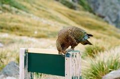 попыгай zealand высокогорного kea новый стоковое фото