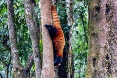 Попытка избегать красная панда Красивая тварь в земле стоковое фото