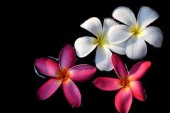 Поплавки Plumeria Стоковое фото RF