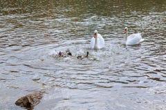 Поплавок 2 белый лебедей на воде в парке Стоковая Фотография RF