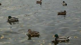 Поплавок диких уток в озере леса видеоматериал