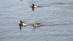 Поплавок утки на реке акции видеоматериалы