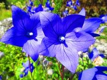 Поразительные голубые цветки в солнце лета стоковое изображение rf