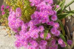 Поразительные розовые (magenta) цветки Стоковое Изображение