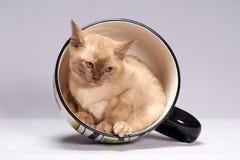Порода Бирма котенка на светлой предпосылке стоковая фотография rf