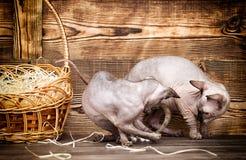 Порода кота канадца Sphynx Стоковые Изображения