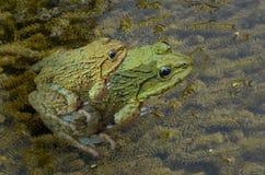 Порода пар field лягушки на зеленых водорослях в воде Стоковое Изображение