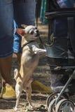 Порода собаки чихуахуа защищает pram с ребенком стоковая фотография rf