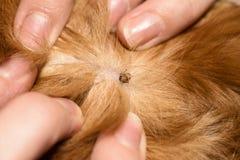 Порода spaniel породы собаки тиканий красная стоковая фотография rf