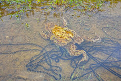 Порождать лягушки Стоковое Изображение RF
