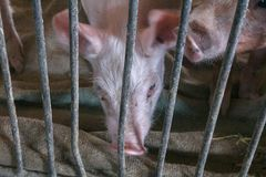 Поросенок в клетке Стоковая Фотография