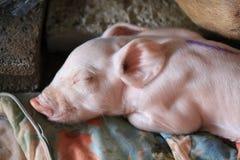 Поросенок спит Стоковая Фотография RF