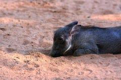 Поросенок Warthog Стоковое фото RF