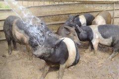 Поросята играя в ферме стоковое фото