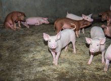 Поросята на ферме Стоковые Фото