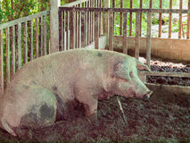 Поросята на ферме Стоковые Изображения