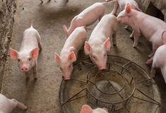Поросята на ферме Стоковая Фотография RF