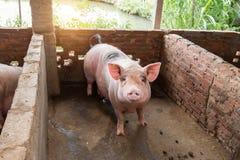 Поросята на ферме Стоковое Изображение RF