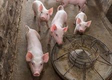 Поросята на ферме Стоковое Фото