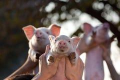 Поросята поднятые руками людей Стоковые Фото
