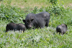 поросята свиньи въетнамские Стоковое Изображение RF