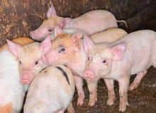 Поросята свиньи в ручке стоковая фотография rf