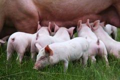 Поросята suckling на ферме Маленький домочадец поросят Симпатичные поросята Стоковое Фото
