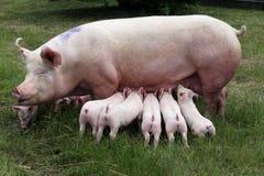 Поросята suckling на ферме Маленький домочадец поросят Стоковые Фотографии RF