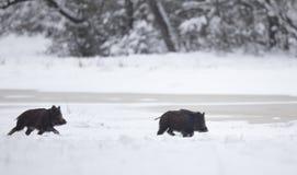 2 поросят дикого кабана играя на снеге Стоковое Изображение RF