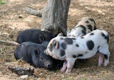 4 поросят отдыхая под деревом Стоковое Фото