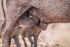 2 поросят Warthog suckling Стоковое фото RF