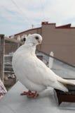 Порода белого голубя редкая Стоковое Изображение