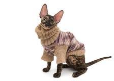 Порода корнуольское Rex кота в свитере Стоковые Фото