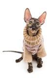 Порода корнуольское Rex кота в свитере Стоковое фото RF