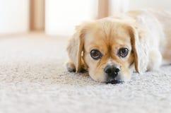 Порода креста spaniel-Pekingese кокерспаниеля, милые глаза щенка стоковые изображения